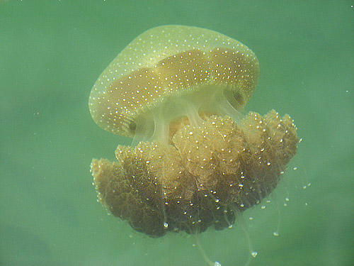 Jellyfish in the Swan River
