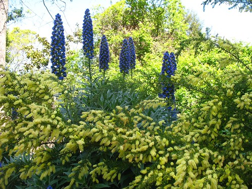 Echium candicans + some acacia
