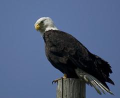 68EV0030-1 (sgbaughn) Tags: baldeagle bald raptor eagles