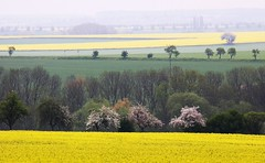 Colored stripes (Linda6769) Tags: tree field yellow germany landscape haze blossom hill thuringia gelb blte landschaft raps baum canola frhling blooming rapeseed bloomingtree frhjahr blhend blhenderbaum treesinspring picturewithmusic bumeimfrhling baumimfrhling