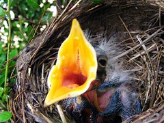 Baby Bird 08                    (Your photostr...