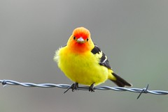 colorful stare (brodmann's 17) Tags: red color male bird nature yellow rock oregon wire bravo colorful niceshot place you 1st best chapeau western barbed soe bestofthebest tanager malheur yourock nwr westerntanager piranga naturesfinest firstquality ludoviciana supershot addictedtoflickr unanimous golddragon animalkingdomelite kissawards abigfave platinumphoto anawesomeshot colorphotoaward aplusphoto visiongroup avianexcellence diamondclassphotographer flickrdiamond theunforgettablepictures thatsclassy picturefantastic goldstaraward naturethroughthelens damniwishidtakenthat fotocompetitionbronze goldenheartaward fotocompetitionsilver vision100 grouptripod worldglobalaward globalworldawards tuw072 passionateinspirations artofimages bestcaptureaoi fotocompetitiongold mygearandme mygearandmepremium mygearandmebronze mygearandmesilver mygearandmegold mygearandmeplatinum mygearandmediamond flickrstruereflection1 aboveandbeyondlevel2