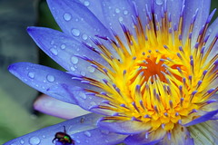 ?? Water lily