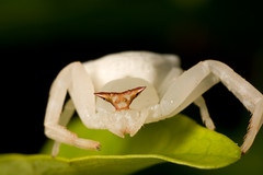 IMG_0034 (yimING_) Tags: flower macro nature singapore crabspider canonmpe65