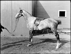 Horse owned by Saltonstall, Brookline Riding S...