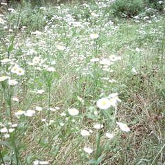 【写真】ミニデジで撮影した白い花の雑草