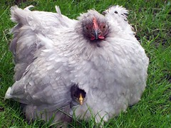 Peeking Pekins (DrSlippers2007) Tags: england urban pet baby pets cute green bird english chickens chicken home nature birds animal animals garden diy back backyard natural wind britain flock feather lavender jardin free windy lancashire chick blackburn explore breeding poultry fancy eggs peek chicks peep brooding coop hatch fowl poule breed shelter hiding peeking range oiseau offspring oiseaux coq peeping henhouse poulet hatched bantam feathered brood raising hatchlings robinet pekin redblack bantams sheltering volaille poulailler poulets arrirecour coqnain coqsnains