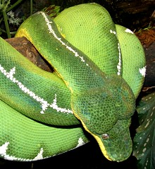 Corallus caninus (EcoSnake) Tags: brazil green southamerica wildlife snakes reptiles herps nashvillezoo emeraldtreeboa coralluscaninus boaconstrictors