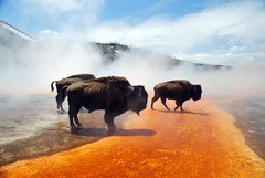 Bison at Grand Prismatic Spring Yellowstone National Park Wyoming