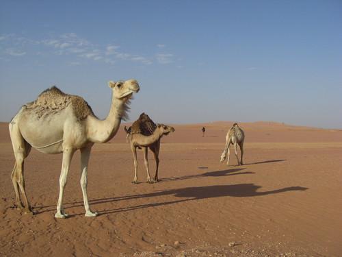 algeria camels