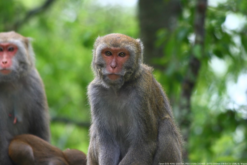 台灣獼猴 Macaca cyclopis - IMG_8753