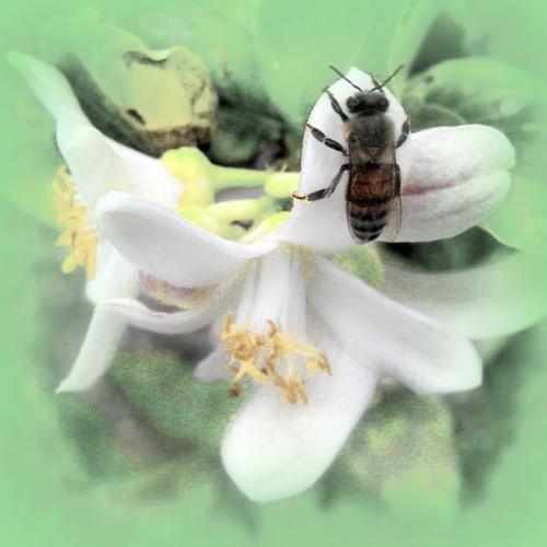 Bee on Lemon Blossom