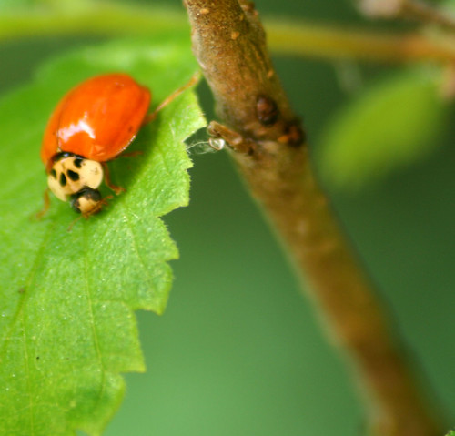 Harmonia axyridis - Multicolored Asian Lady Beetle