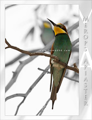 Merops Apiaster (Hamad Al-meer) Tags: color tree green bird colors birds yellow canon eos grey hd creatures hamad 30d  merops apiaster 100400 aplusphoto hamadhd hamadhdcom wwwhamadhdcom flickrlovers