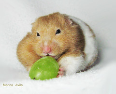Hamster Mike