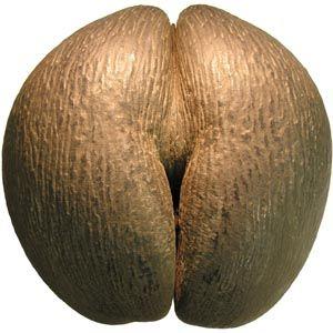 Coco de mer seed