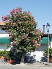 Torre del Lago, oleander tree (Truus, Bob & Jan too!) Tags: pink summer italy tree opera tuscany oleander torredellago puccini