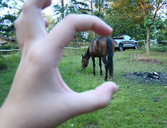 Tiny Horse (ginfox) Tags: horse animal bay hand miniture bayhorse smallhorse missourifoxtrotter