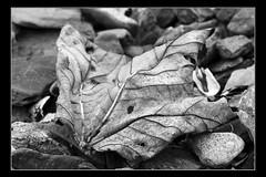 Leaf (Etrusia UK) Tags: uk blackandwhite macro closeup photoshop geotagged leaf nikon zoom bangor telephoto northernireland ni botany 70300mm wmp pictureperfect ulster d300 codown sigmalens 70300mmlens blackframe crawfordsburncountrypark sigma70300mmlens nikond300 awesomepictureaward geo:lon=5732417 geo:lat=54672054