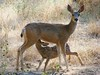 mule deer fawn still not weaned