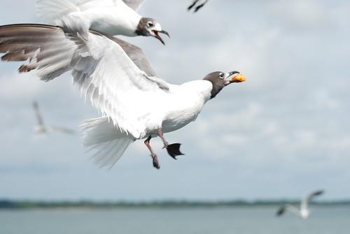 Panama City Beach Gulls