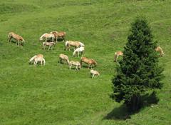 idillio alpino (ludi_ste) Tags: horses verde green grass pine meadow vert erba pino prato cavalli pr naturesfinest lifeasiseeit alpedisiusi bej golddragon mywinners betterthangood natureselegantshots multimegashot
