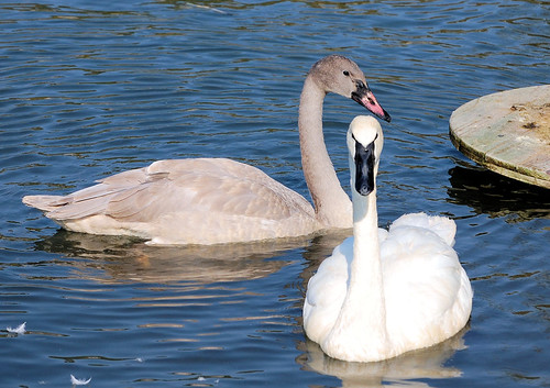 Swans along Cannon Valley Trail