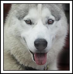 Balto the husky