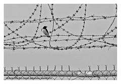 Life is Full of Thorns (SanforaQ8) Tags: bw bird blackwhite nikon photographer free finepix kuwait q8 70200mm s5pro sanfora abdli