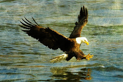 Eagle Down Again (ozoni11) Tags: fish bird texture nature birds photoshop fishing nikon eagle baldeagle textures eagles baldeagles d300 conowingo conowingodam michaeloberman ozoni11