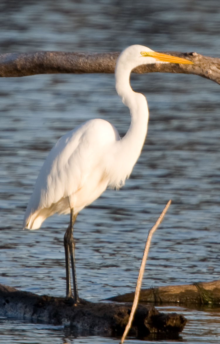 great-egret-crop2