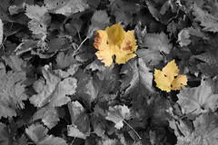 Foglie B&W (BKDama) Tags: bw verde green nature yellow foglie canon eos natura giallo leafs biancoenero canon1785 40d canon40d bkdama goldenmasterpiece danielemariani