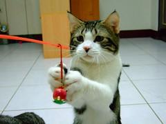 呆....... (Chrischang) Tags: pet animal cat 貓 banban queennana