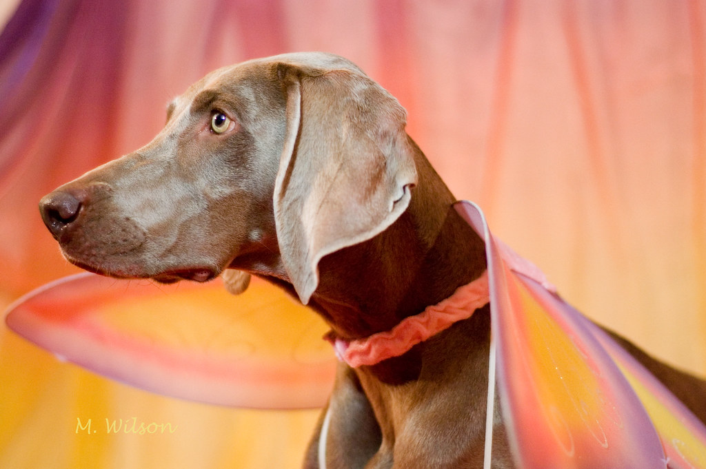 The Worlds Most Recently Posted Photos Of Costume And Weimaraner