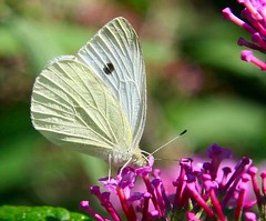 Cabbage White (urolucas) Tags: butterfly cabbagewhite naturesfinest canon30d inspiredbylove