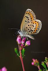 Plebejus argus (Hugo Amador) Tags: plebejusargus alfena borboletasdeportugal