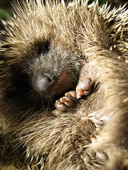 che sonno! (wild friday) Tags: sardegna autumn sardinia sleep tired mammals autunno porcupine sonno riccio stanco letargo mammiferi abigfave erinaceuseuropaeusitalicus menomalecheceralacameradimiamamma