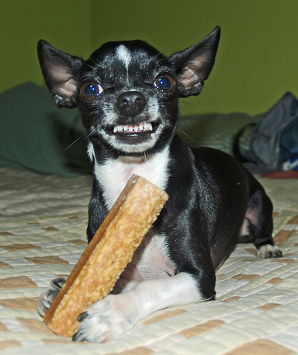 Chihuahua dog bone large photo snarl attack