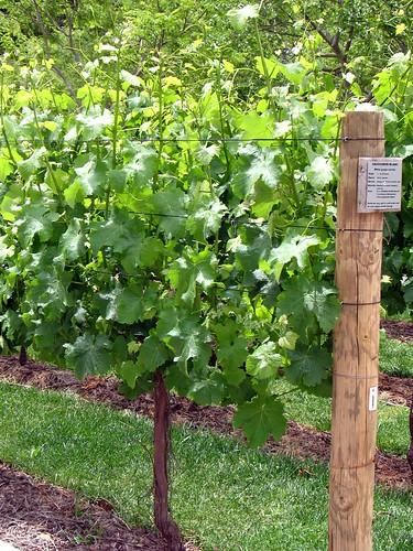 Sauvignon Blanc grape plant