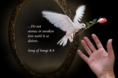 Do Not Arouse or Awaken Love Until It So Desires (honey 77) Tags: white love beauty rose mirror wings hand dove flight christian bible sensational inspirational scriptures awaken photoshopart passionphotography inspiks|inspirationalpictures songofsongs84 bibleversegodjesuspink heavenlycaptures