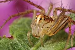 Lynx Spider (Dwi Janto Johan) Tags: macro hongkong spider nikon d70s micro lynx lantauisland reverselens tungchung blueribbonwinner sb24 sb25 br2a classarachnidaarachnids orderaraneaespiders kenkoexttube36mm subphylumchelicerata suborderopisthothelae canonfd24mm128ssc phylumarthropodaarthropods notaxonentelegynes infraorderaraneomorphaetruespiders genusoxyopes familyoxyopidaelynxspiders speciessalticusstripedlynx stepdownring5552 macrounlimited