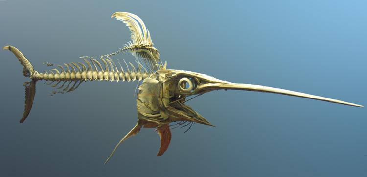squelette espadon