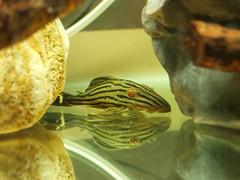 黃金木紋皇冠豹 (BOX Lin) Tags: 異型 飼養