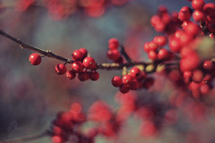 hss. =) (susan *tt*) Tags: tree canon 50mm berries bokeh hss canonef50mmf18ii happyscarletsunday