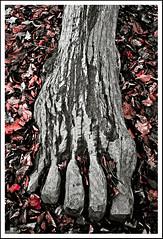 Roots / Wurzeln (xollob58) Tags: wood autumn tree art fall leaves forest germany deutschland foot kunst herbst roots weathered oakwood holz blätter baum darmstadt wurzeln fus verwittert forst eichenholz waldkunstpfad photoshopcs3 jemskokobi
