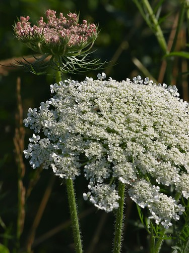 Qs for Queen Annes Lace, Finery She Wears