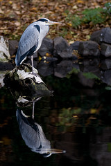 Gray Heron Reflected (Philipp Klinger Photography) Tags: reflection bird eye heron water animal germany deutschland nikon europa europe hessen frankfurt gray beak feathers feather philipp egret spiegelung tier vogel hesse d300 klinger reiher graureiher nikkor180mmf28 aplusphoto dcdead