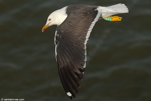 Lesser Black-backed Gull (L.f. graellsii), >6cy, G[F.ABT]