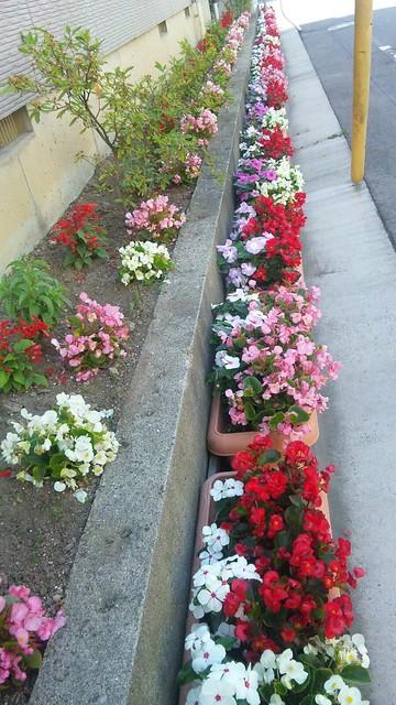 ряды цветов