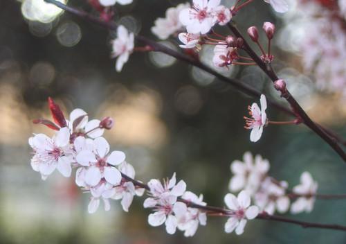 ...spring beauties bokeh...